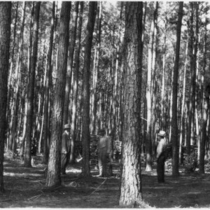 Loblolly pines after thinning
