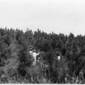 Men examining loblolly pine plantation