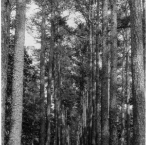 Double avenue of loblolly pines