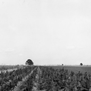 Loblolly pines planted in 1939 by Mr. W.B. Boschen as a windbreak on his Beaufort County farm