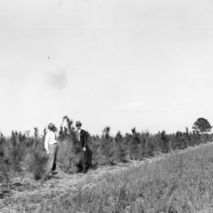 Loblolly pine windbreak on the farm of W.B. Boschen of Pantego in Beaufort County