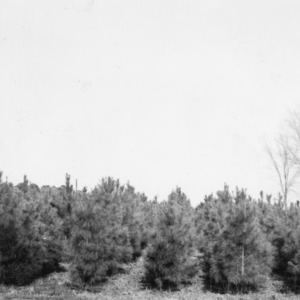 Loblolly pines with three growing seasons being used as a windbreak on the farm of W.B. Boschen, Beaufort County