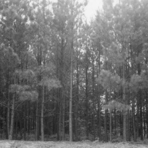 Looking into a 13-year old stand of planted loblolly pine