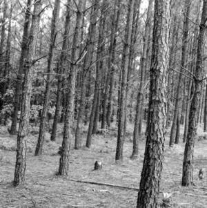 Loblolly pine 13 years after planting - thinned