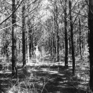 Forest planting 8' x 8' loblolly pine spacing plot