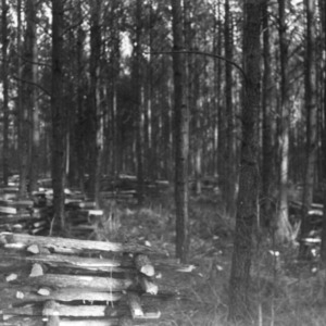 Loblolly pine thinned on the farm of Mr. M.H. Hunt of Louisburg, N.C.