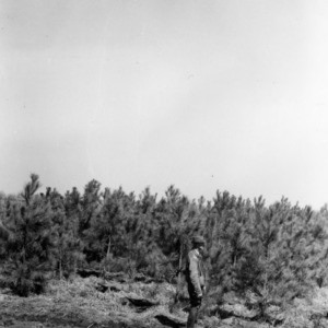W.B. Boschen, Beaufort County, standing at the end of a loblolly pine windbreak