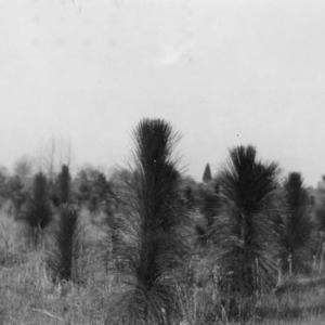 Four year old Longleaf pine plantings on farm of R. L. Stowe