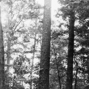 Longleaf pine tree on Maury Ward Plantation