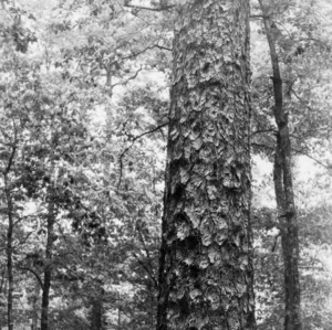 Girl in front of longleaf pine tree on Maury Ward Plantation
