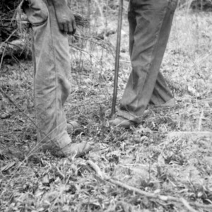 Setting longleaf pine seedlings