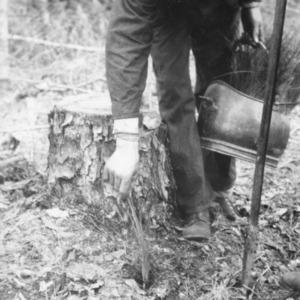 Transplanting longleaf pines
