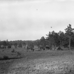 Cows in pasture on Reynolds-Hybrook Farm