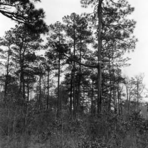"""""""Freak"""" tree in forest"""