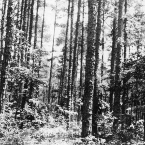 Pine timber crop on farm of M. A. Tucker