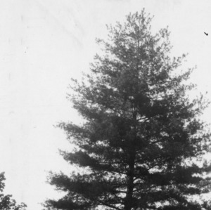 White pine on grounds of the N. C. State Hospital