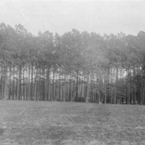 Pine trees on farm of Griffin Brothers