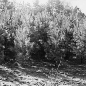 Five year old pines on farm of Henry Edwards