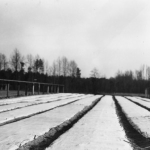 Canvas-covered seed beds of longleaf pine