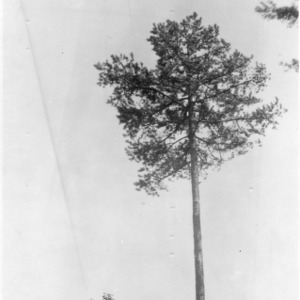 Shortleaf pine tree