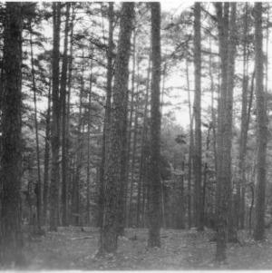 Shortleaf pines
