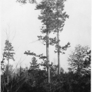Shortleaf pine reproductions as a result of leaving seed trees