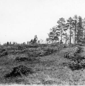 Destroyed crop of shortleaf pine