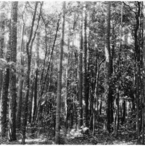 Stand of shortleaf pines with crop of hardwoods