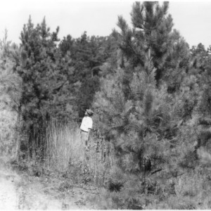 County agent examining height of planted pines