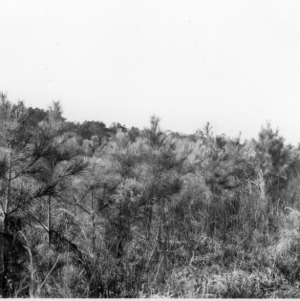 Loblolly pine plantings