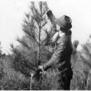 County agent measuring loblolly pine