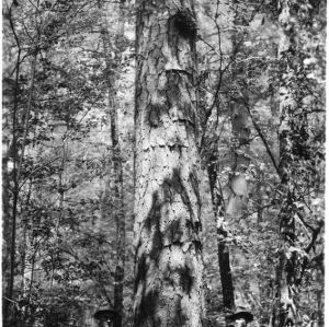 Largest living shortleaf pine as reported to the Big Tree Committee of the American Forestry Association