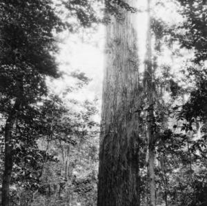 Southern cypress tree