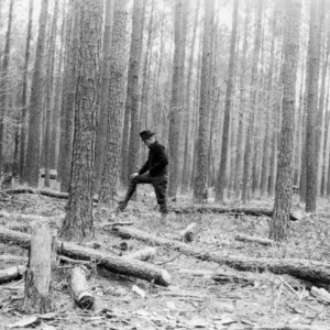 Natural thinning of timber due to over-crowding and stagnation on farm of T. M. Bowen