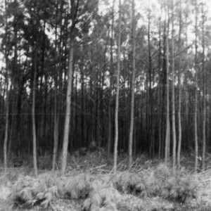 Forest after thinning
