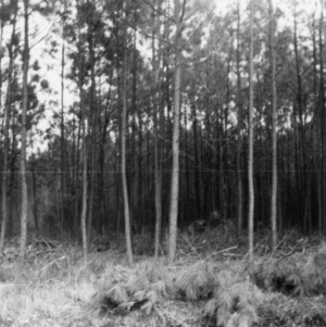 Forest before thinning