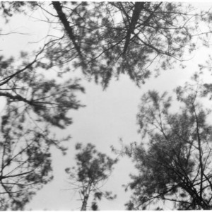 Crowns of shortleaf pines after thinning