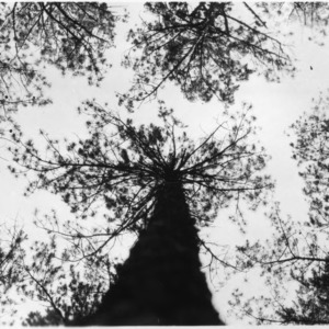 Crowns of thinned shortleaf pines
