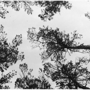 Artificial thinning of shortleaf pine