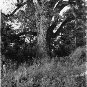 Largest tree in Alamance County