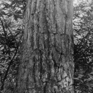 Bark on hemlock tree