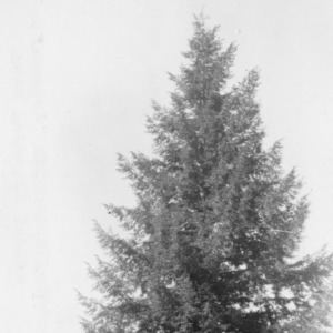 Carolina hemlock tree
