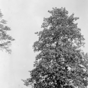 American holly tree