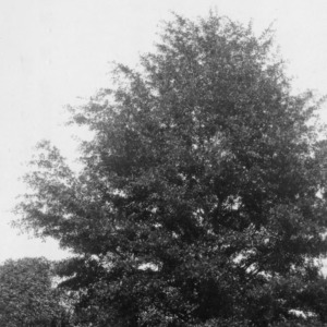 Water oak on the grounds of the North Carolina State Hospital