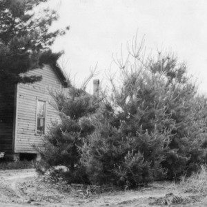 White pines planted as wind-break