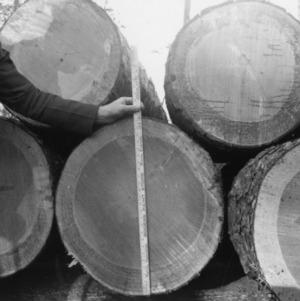 Mature pine timber
