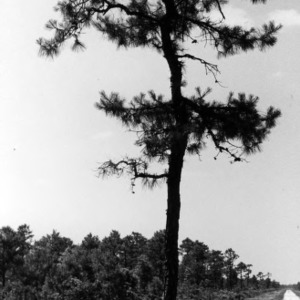 Pine tree at Hofmann Forest