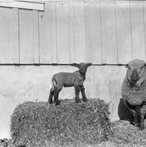 Grade ewe her spring lamb
