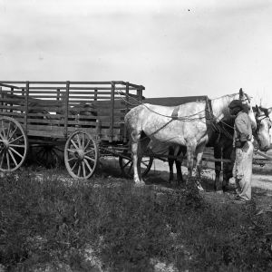 Horse-drawn cart for taking animals to market