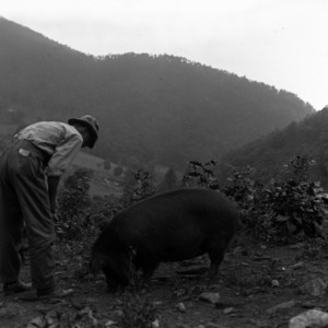 Man with sows in field